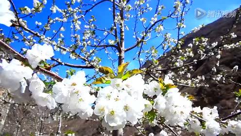 大樱桃的生长环境与生长过程