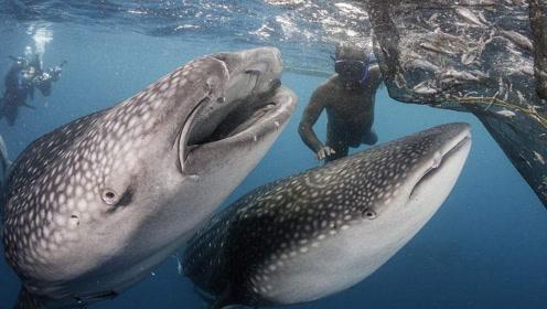 """目前世界上捕杀鲸鱼最多国家,理由是:""""科学需要,研究鲸鱼身体""""!"""