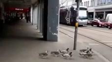 这群小鸭子成精了,居然会等红灯之后再过马路