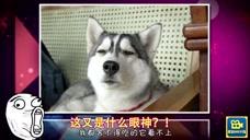 家庭幽默录像:哈士奇记住你是一只狗啊!不是一只兔子啊!