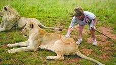 作死男子抚摸狮子屁股拍照,下一秒意外发生了,镜头记录惊悚过程