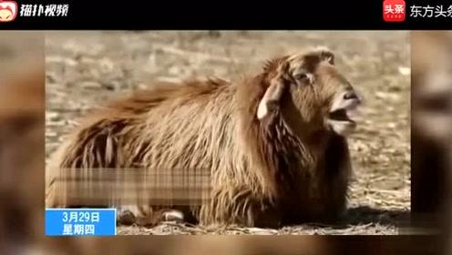 四川方言:搞笑动物配音!