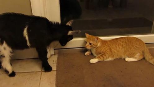 小羊看到门口的猫咪,就朝着猫咪撞上去,镜头