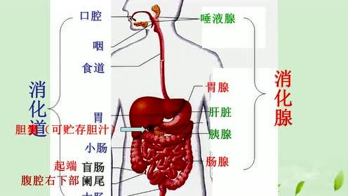 七年级生物下册第二章 人体的营养 2.消化和吸收