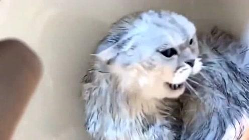 猫咪洗澡不让吹毛,竟气到自闭,这暴脾气是改