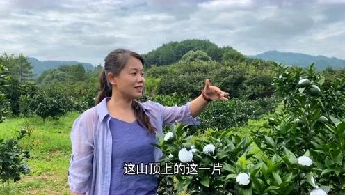 广西大山种植的几十亩沃柑,都被喷上白色的药,到底发生了什么