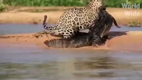豹子报仇十年不晚,且看鳄鱼被豹子反杀