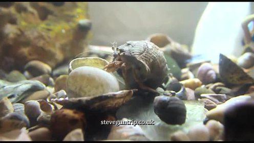 寄居蟹换壳慢动作播放