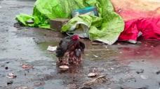 """暖心!印度""""落汤母鸡""""风雨中保护幼崽视频被疯传"""