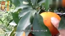 农村路边的水果,和蜜一样甜,市场价格30元一斤
