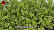 茼蒿是种很好种植的蔬菜,好吃又营养,你们喜欢吃茼蒿吗