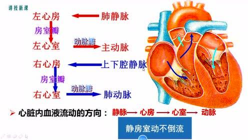 七年级生物下册第四章 人体内物质的运输3.输送血液的泵—心脏