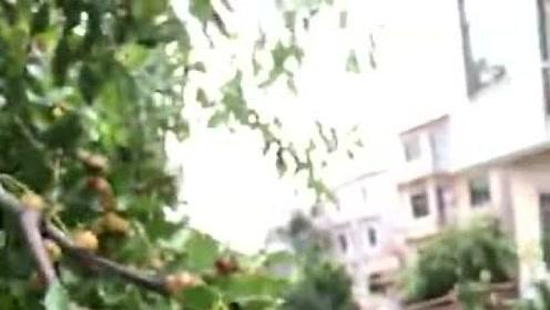 家乡这棵红枣树,伴我成长路,吃着美味红枣想起儿时的记忆!