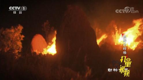 山林大火爆发,生活在此地的动物,它们能否逃过一劫?