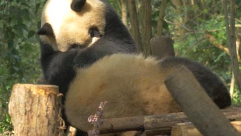 熊猫又来给同伴按摩了,下一秒让人万万没想到