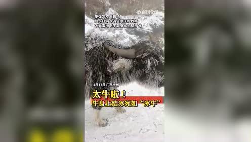 #热点速看#广西柳州,高山牧场惊险冰牛!
