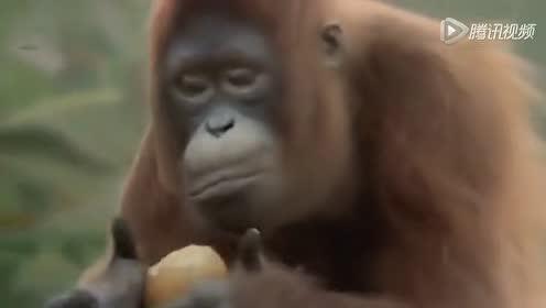 视频: 搞笑动物 大猩猩