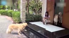 别人家狗系列 四只狗子出去嗨玩一天之后 在家门