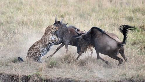 花豹正在捕杀角马,不料被角马同伴一击顶退,镜头拍下精彩过程!
