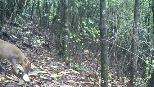 凤阳山百山祖自然保护区内的小麂