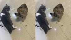 猫与猫的战争不需要别人助力
