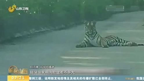 嚇壞了!的哥開車路遇野生東北虎:對視約20分鐘 老虎才離開