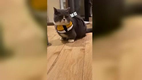 矮脚猫日常催我铲屎,真是太可爱了!