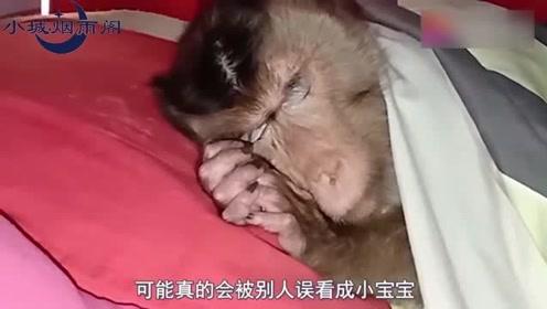 猴子赖床不起,被主人掀开被子,下一秒简直不