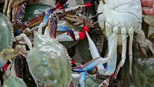 渤海湾野生公梭子蟹,每只都是一斤以上的螃蟹,只有土豪能吃得起!
