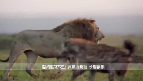 """鬣狗围攻落单野牛,一招""""掏肛""""下去,野牛再也没有站起来!"""