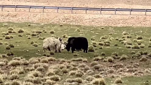 《天堂西藏》111、温馨的草原,快乐的牛羊