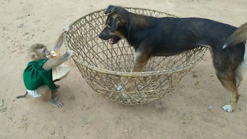 小猴子身手敏捷,调皮的它想用笼子盖住狗狗,
