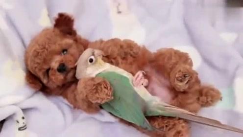 泰迪有了新欢,天地空气都靠边站,该换小鹦鹉了