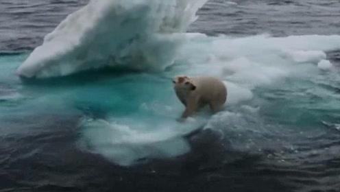 北极熊:游了一整天才找到浮冰休息,没有海豹,北极熊累极了