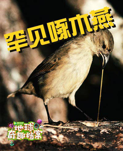 罕见海鸟用木棍掏虫子,全球仅此一例!