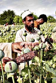 阿富汗鸦片产量猛增43%