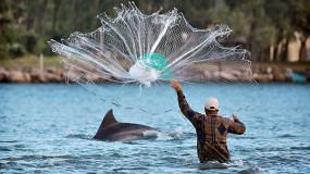 海豚帮助渔民?#38431;悖号?#25171;尾巴通知撒网