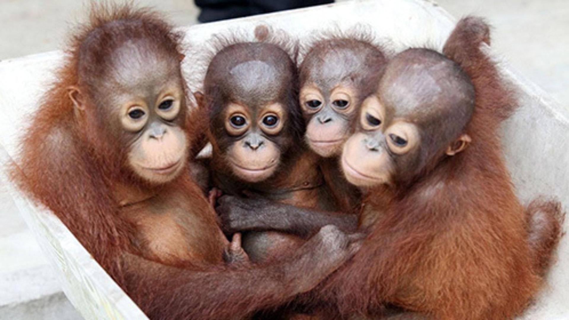 动物剪影图片 猩猩