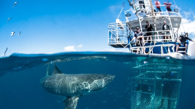 和6米凶猛大白鲨一起沉到海底