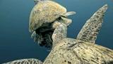 """绿海龟交配来了3个情敌:任何""""龟""""都不能把我们分开"""