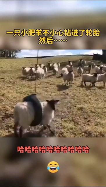 一隻小肥羊不小心鑽進輪胎