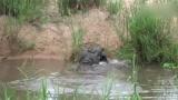 饥饿的6米长鳄鱼猎杀动物,场面惊心动魄,一咬一口嘎嘎响