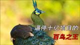 """""""百鸟之王""""绿孔雀"""