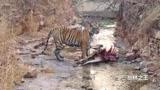 老虎在野外猎杀动物,吃肉时候被拍个正着