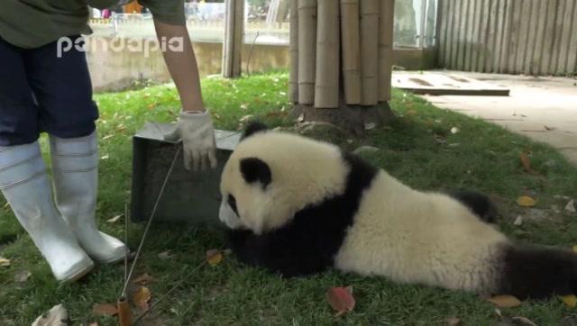 Instreet 不愧是国萌!四川妹被熊猫宝宝弄的哭笑不得让人半筹莫展