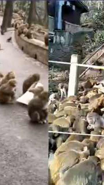 無遊客投食致猴子堵路?貴陽黔靈山公園:謠言,餵食從未間斷