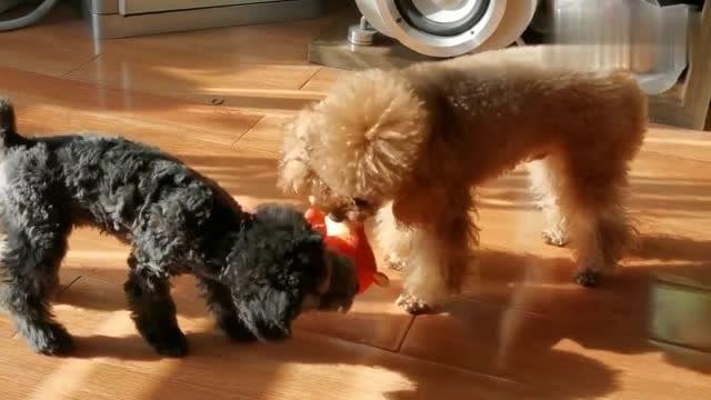 冬日暖陽下兩隻泰迪在一起快樂玩耍,青梅竹馬羨煞旁人