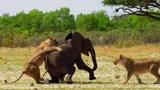 象群眼睁睁地看着小象被群狮扑倒,竟没一只出手相救