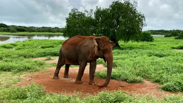 斯里蘭卡的野生大象