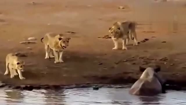狮子来犀牛的领地来挑衅 却被犀牛直接以一敌三_秋霞电影网手机版